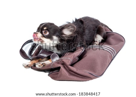 Chihuahua with a bag - stock photo