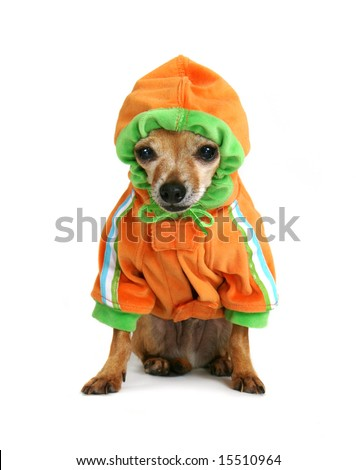 chihuahua with a little hoodie on - stock photo
