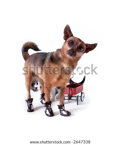 Chihuahua with big eyes and a kitten behind him - stock photo