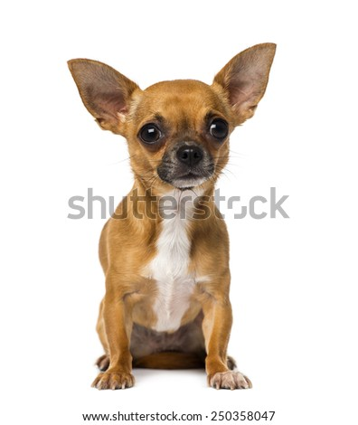 Chihuahua (1 year old) - stock photo