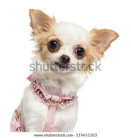 Chihuahua, 1 year old, wearing pink harness against white background - stock photo