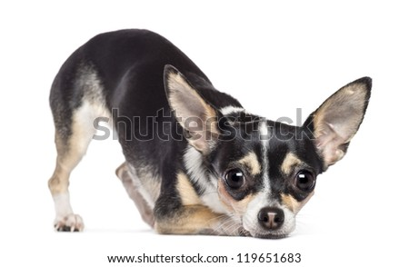 Chihuahua, 2 years old, looking at camera against white background - stock photo