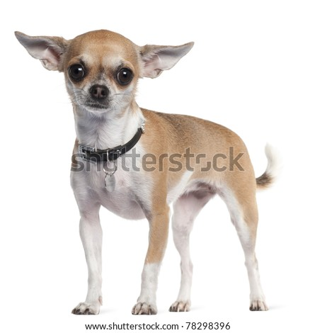 Chihuahua, 3 years old, standing in front of white background - stock photo