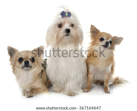 chihuahuas and maltese dog in front of white background - stock photo