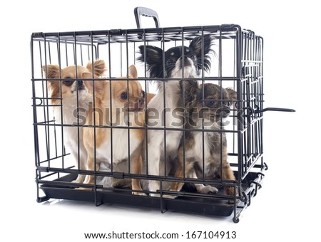 chihuahuas closed inside pet carrier isolated on white background - stock photo