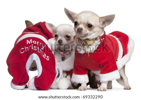 Chihuahuas dressed in Santa outfits for Christmas in front of white background - stock photo