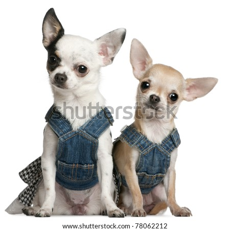 Chihuahuas wearing denim, 1 year old and 11 months old, sitting in front of white background - stock photo