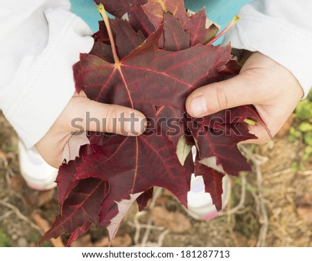 Child Hands Holding Red Autumn Leaves - stock photo