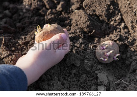 Child hands planting potato tubers into the soil - stock photo