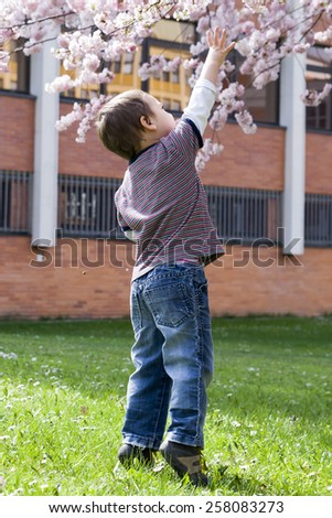 Child reaching up to blossoming cherry tree in spring. - stock photo