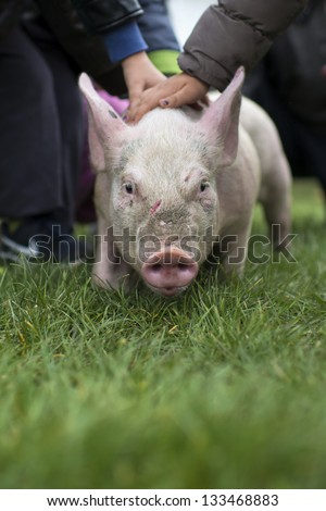 Children play with little pink pig - stock photo