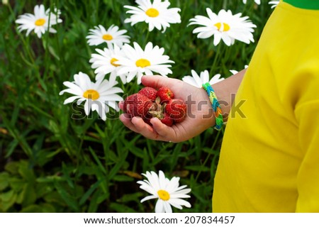 Children's hand holding a few strawberries in the palm on the background field with camomiles - stock photo