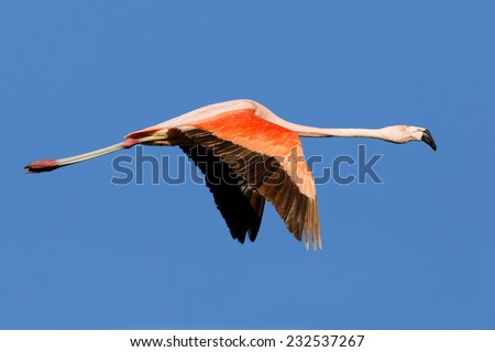 Chilean Flamingo (Phoenicopterus chilensis) in flight against a blue sky.  Patagonia, Argentina, South America. - stock photo