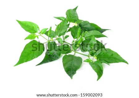 chili pepper plant  - stock photo