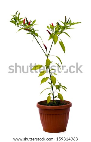chili pepper plant in pot isolated on white background - stock photo