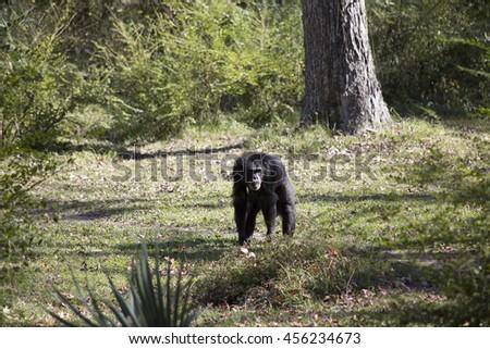Chimp exploring - stock photo