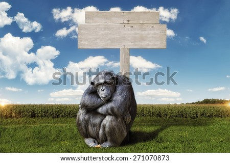 chimpanzee arms crossed, serious face, sitting in front of a blank wooden sign. background a green landscape with blue sky and clouds - stock photo