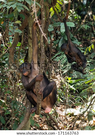 Chimpanzee bonobo ( Pan paniscus) with a cub on tree branches. Congo. Africa. - stock photo