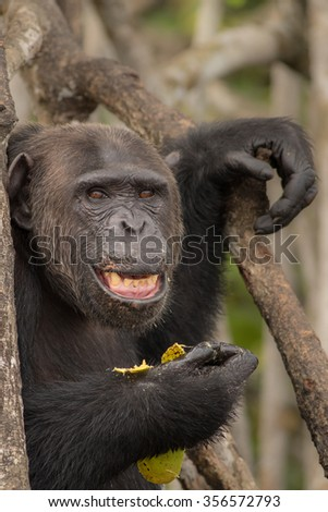 chimpanzee/chimpanzee/congo - stock photo