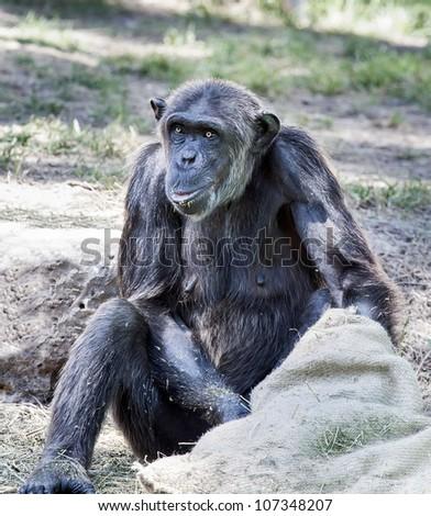 Chimpanzee eats from the bag - stock photo