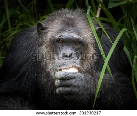 Chimpanzee face - stock photo