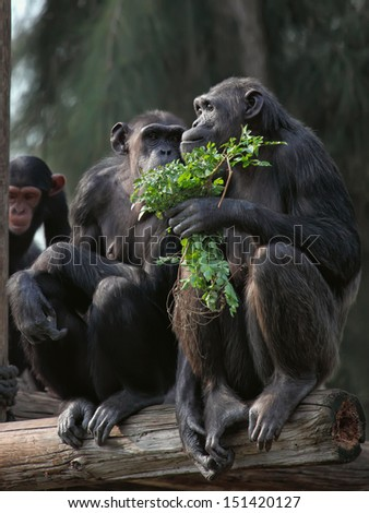 chimpanzee family in zoo  - stock photo