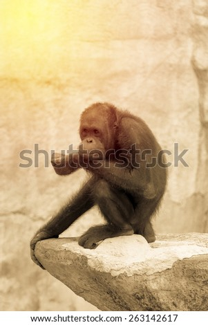 Chimpanzee in serious action, business concept. Vintage filter. - stock photo