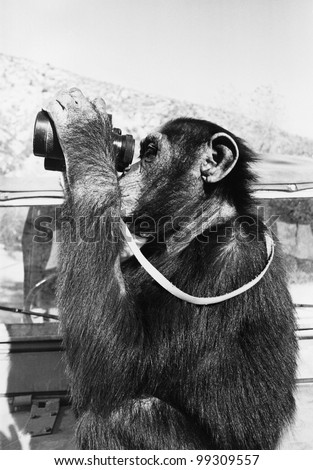 Chimpanzee looking through binoculars - stock photo