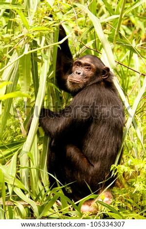 Chimpanzee, Mahale Mountains, Tanzania. - stock photo