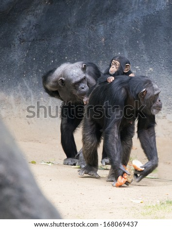 Chimpanzee mother and baby - stock photo