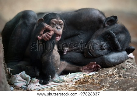 Chimpanzee mother with her cub - stock photo