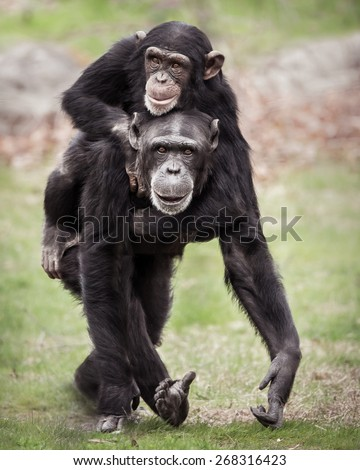 Chimpanzee Mother with Her Young Son Riding on Her Back - stock photo