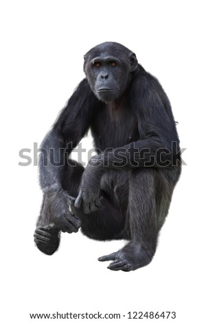 Chimpanzee on a white background - stock photo