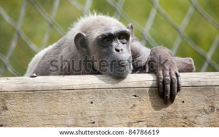 Chimpanzee resting in captivity - stock photo