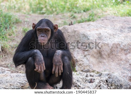 chimpanzee sitting on stones in nature summer day - stock photo