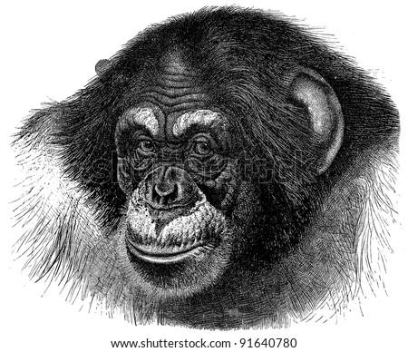 Chimpanzee (Troglodytes Niger) - Vintage illustration from Meyers Konversations-Lexikon 1897 - stock photo