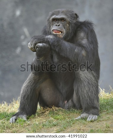 chimpanzee, west african. sitting on grass pondering life. black monkey - stock photo