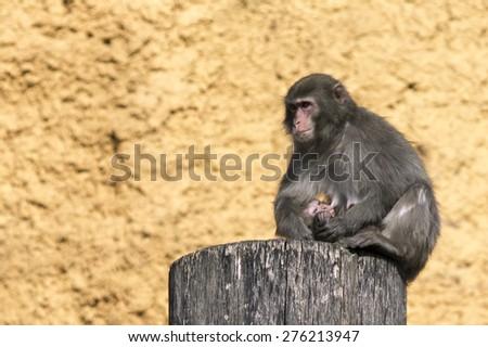 Chimpanzee with baby - stock photo