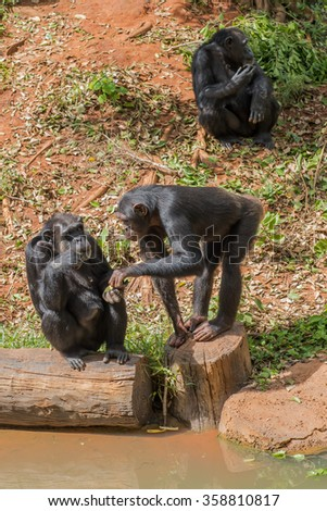 Chimpanzees in zoo beg food from tourists - stock photo