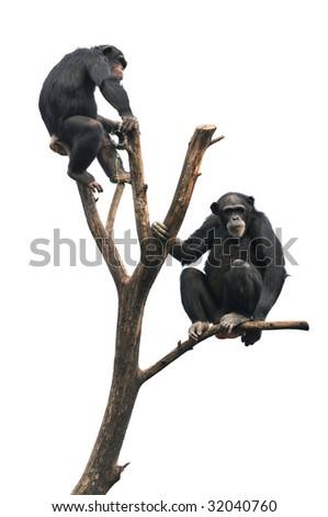 Chimpanzees sitting on bare tree isolated over white background - stock photo