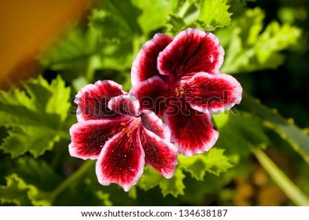 China Rose (hibiscus), Impatiens (touchy), Calla, Japanese camellia, geranium royal. - stock photo