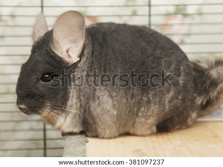 chinchilla sitting in a cage - stock photo