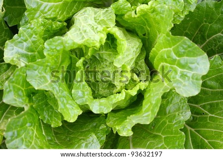 Chinese cabbage - stock photo