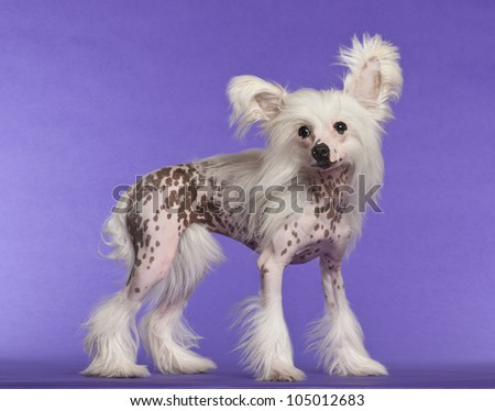 Chinese Crested Dog, 9 months old, standing against purple background - stock photo