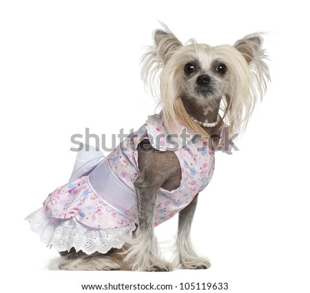 Chinese Crested Dog, 2 years old, sitting against white background - stock photo