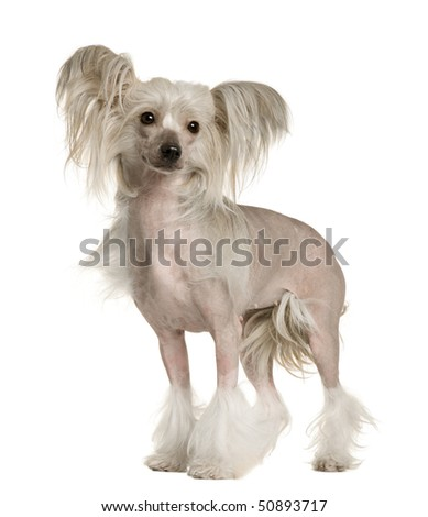 Chinese Crested Dog, 2 years old, standing in front of white background - stock photo