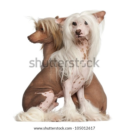 Chinese Crested Dogs, 11 and 16 months old, sitting against white background - stock photo
