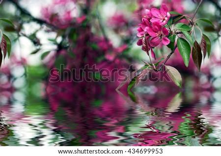 Chinese flowering crab-apple, wild apple flowers - stock photo