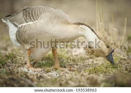 Chinese goose eating grass. - stock photo