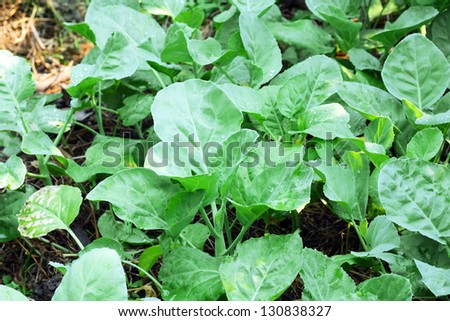 Chinese kale vegetable ready to harvest - stock photo